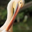 Great pelican taking care of its feathers — Stock Photo #74146833