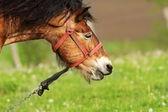 Brown mare portrait — Stock Photo
