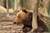 Captive brown bear — Stock Photo