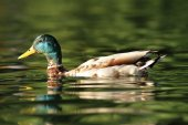 Male mallard swimming on pond — Stock Photo