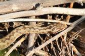 Общие гадюка, греясь на ветки — Стоковое фото