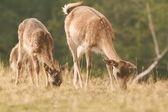 Семья лань, пасущихся на лугу — Стоковое фото