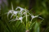 White spider lily flower -Hymenocallis littoralis — Stock Photo