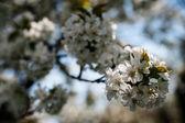 Blossom apple — Stock Photo