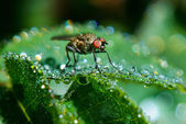 The fly in the dew — Stock Photo