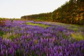 Lupine Meadow — Stock Photo