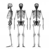 Human body, skeleton — Stock Photo