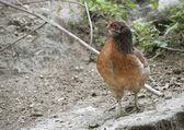 Chicken is the path — Foto de Stock