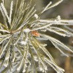 Hoarfrost on pine branch. — Stock Photo #54696065