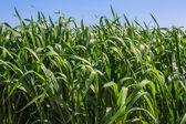 Fältet grönt gräs — Stockfoto