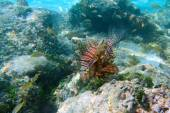 Lionfish in Cayo Coco — Stock Photo