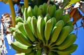 National Park Vinales, detail of bananas — Stock Photo