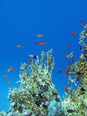 Coral reef with great yellow fire coral and fishes at the bottom of tropical sea — Stock Photo
