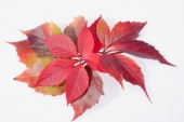 Autumn colorful leveas of parthenocissus on white background — Stock Photo