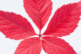 Single autumn colorful leaf of parthenocissus on white background — Stock Photo