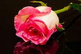 黒地にピンクのバラの花をクローズ アップ — ストック写真