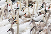 Herd of adult and young swans on the river in winter — Stockfoto