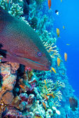 Colorful coral reef with dangerous great moray eel at the bottom — Stock Photo