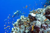 Coral reef with stony corals and divers at the bottom of tropica — Stock Photo