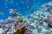 Coral reef with hard coral violet acropora at the bottom of trop — Stock Photo