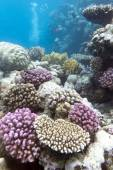 Colorful coral reef with hard violet corals - underwater — Stock Photo