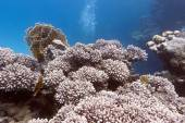 Coral reef with hard coral in tropical sea - underwater — Stock Photo