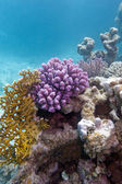 Colorful coral reef in tropical sea - underwater — Stock Photo