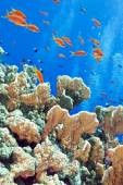 Coral reef with fishes Anthias, underwater — Stock Photo