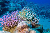 Finger coral in tropical sea at great depth, underwater — Stock Photo
