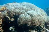 Coral reef with great mountain coral in tropical sea, underwater — Stock Photo