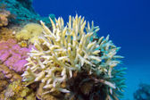 Birdsnest Coral at the bottom of tropical sea, underwater — Stock Photo