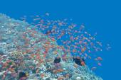Coral reef  with shoal of fishes Anthias in tropical sea, underw — Stock Photo