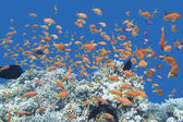 Coral reef with shoal of fishes Anthias in tropical sea, underwa — Stock Photo