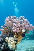 Coral reef with pink rasberry coral in tropical sea, underwater — Stock Photo