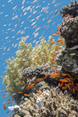 Coral reef with fishes Anthias in tropical sea, underwater — Stock Photo