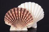Molluscs sea shells isolated on black background — Stock Photo