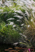 WHITE FEATHER PAMPAS GRASS PLUMES RELAXING POND TOBAGO NATURE — Stock Photo