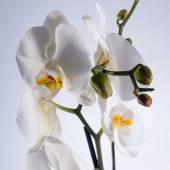 Orchid blooming white on a gray background (Orchidaceae) — Stock Photo