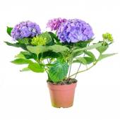 The blue hydrangea in a pot on white background in full size — Stock Photo