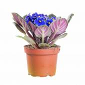 Saintpaulia blue blooming in a pot on white background in full size — Stock Photo