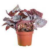 Begonia in a pot on white background in full size — Stock Photo