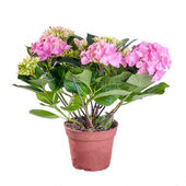 Hydrangea pink blooming in a pot on white background — Stock Photo