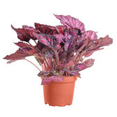 Begonia purple in the pot on white background in full size — Stock Photo