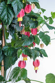 Abutilon blooming on a white background with red flowers — Stock Photo