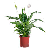 Spathiphyllum blooming on a white background in a pot — Stock Photo