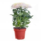 Chrysanthemum white blooming on a light background in a pot — Stock Photo