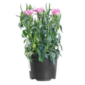 Carnation pink blooming in a pot on white background — Stock Photo