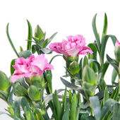 Carnation pink blooming on white background (Dianthus) — Stock Photo