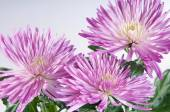 Chrysanthemum purple on a white background — Stock Photo