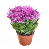 The pink chrysanthemum in a pot on white background in full size — Stock Photo